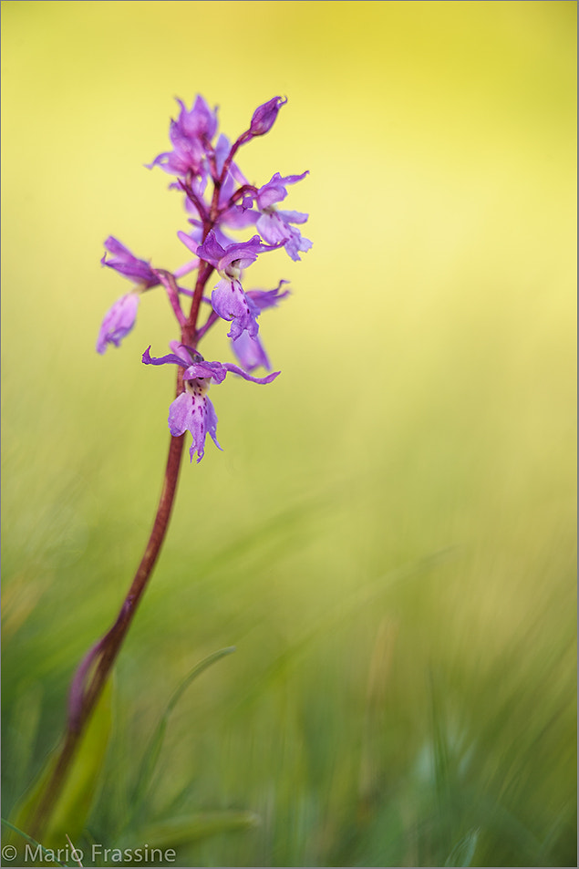 Photograph Orchis by Mario Frassine on 500px