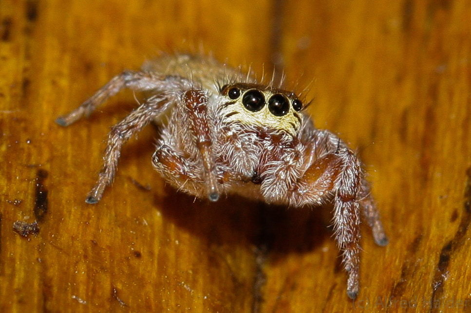 Photograph The Itsy Bitsy Spider by Alfred Haider on 500px