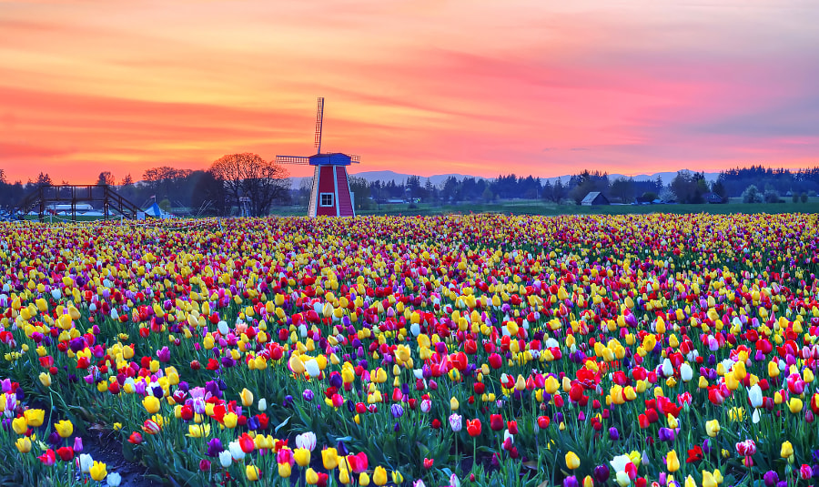 Wooden Shoe Tulip Farm at Sunset by David Wang on 500px.com