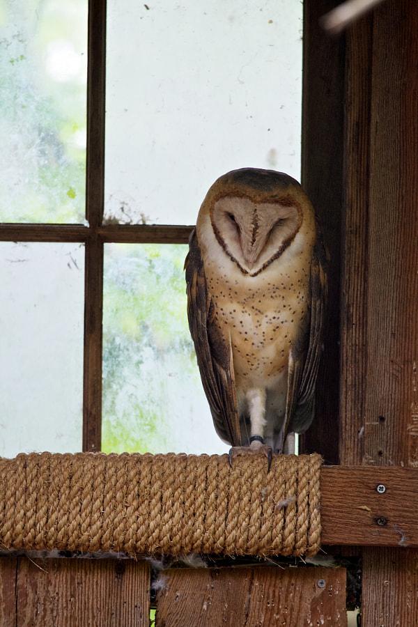 Barn Owl Sleeping on a Windowsill