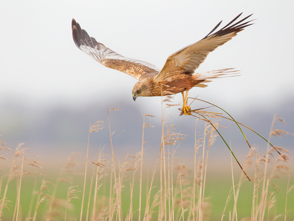 Photograph Marsh Harrier by Mark van der Walle on 500px