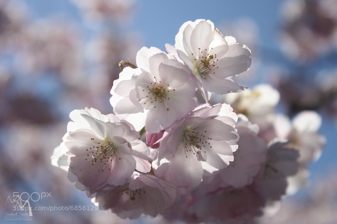 Photograph Kirschbaum by Michael Meidl on 500px