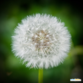 Pusteblume – dandelion