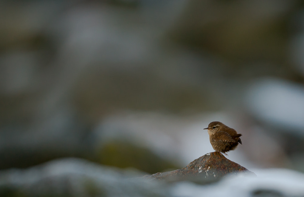 Photograph Winter Wren by Geir  Jensen on 500px