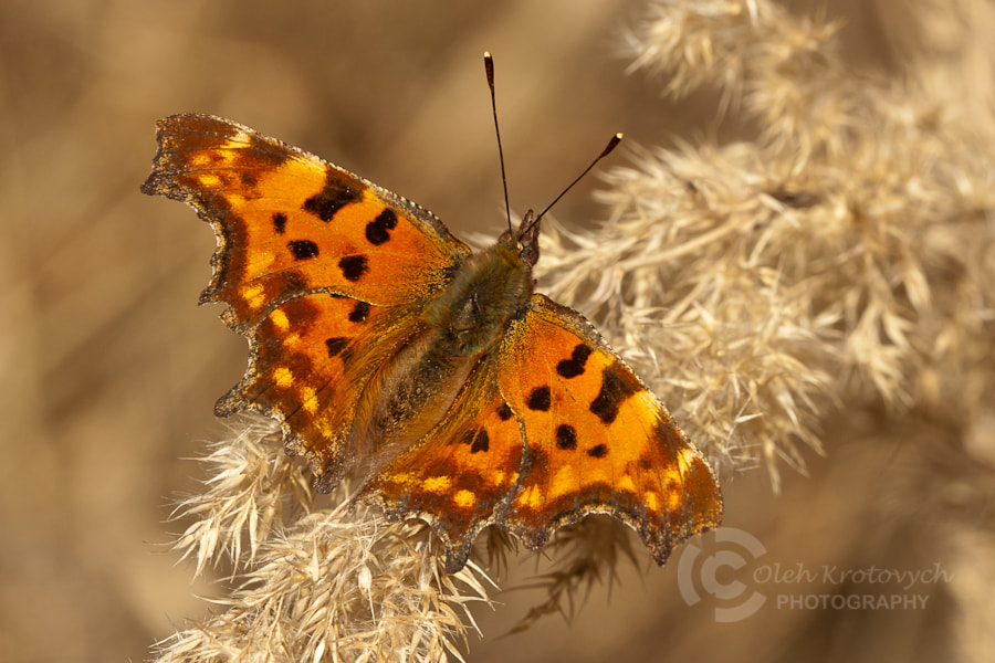 Photograph Polygonia C-album by Oleh Krotovych on 500px