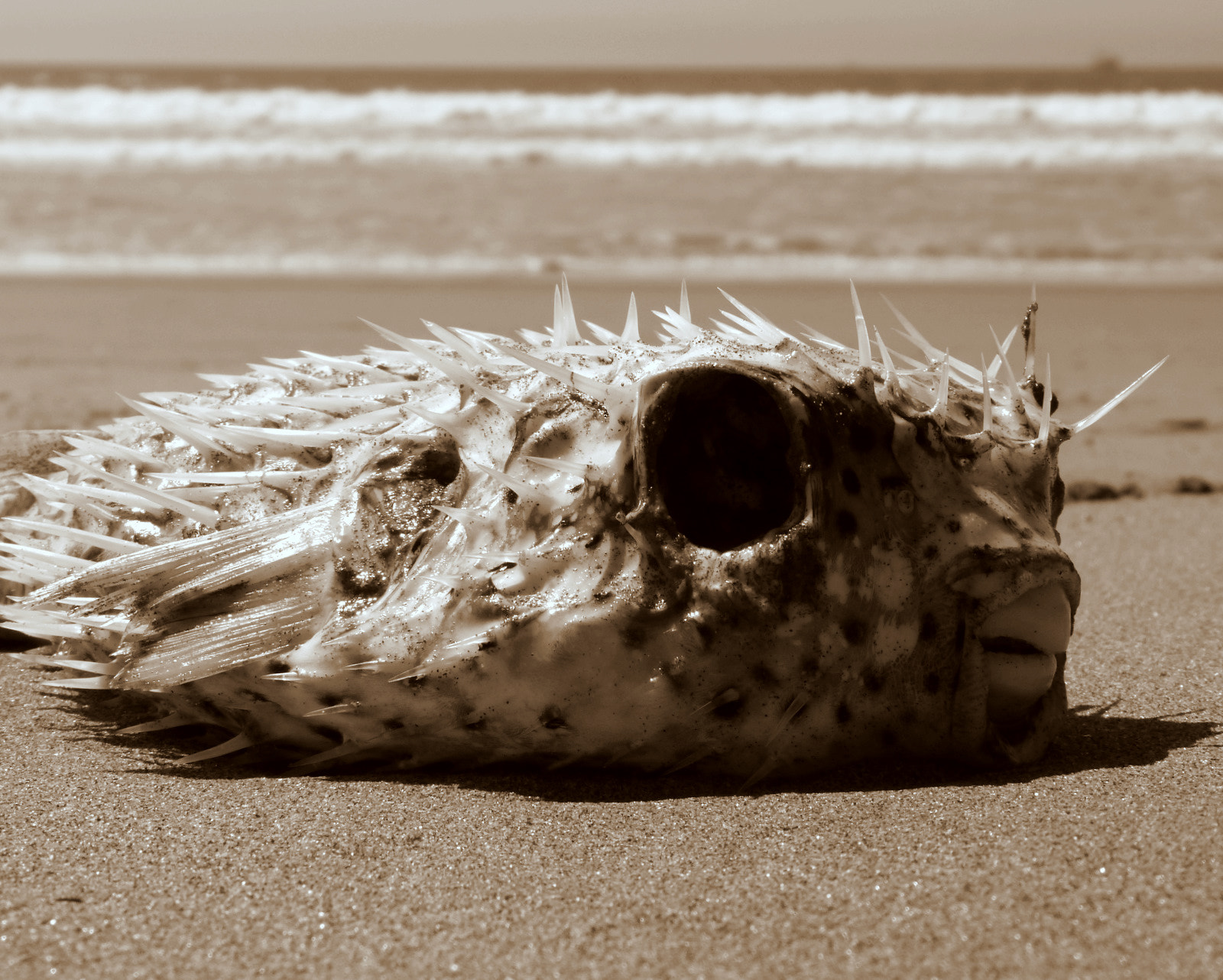 Photograph Puffer Fish by Wes Owen on 500px