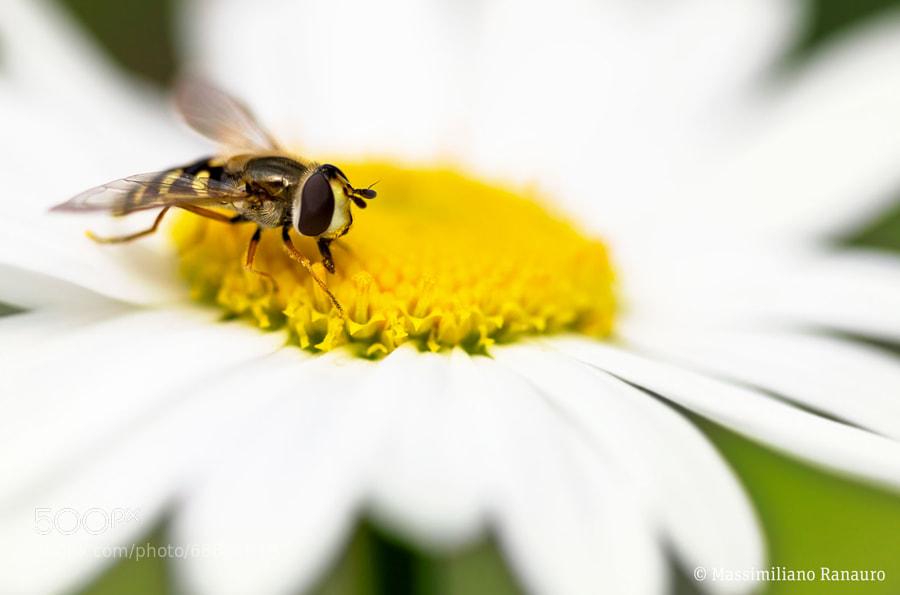 Photograph Bee on daisy by Massimiliano Ranauro on 500px