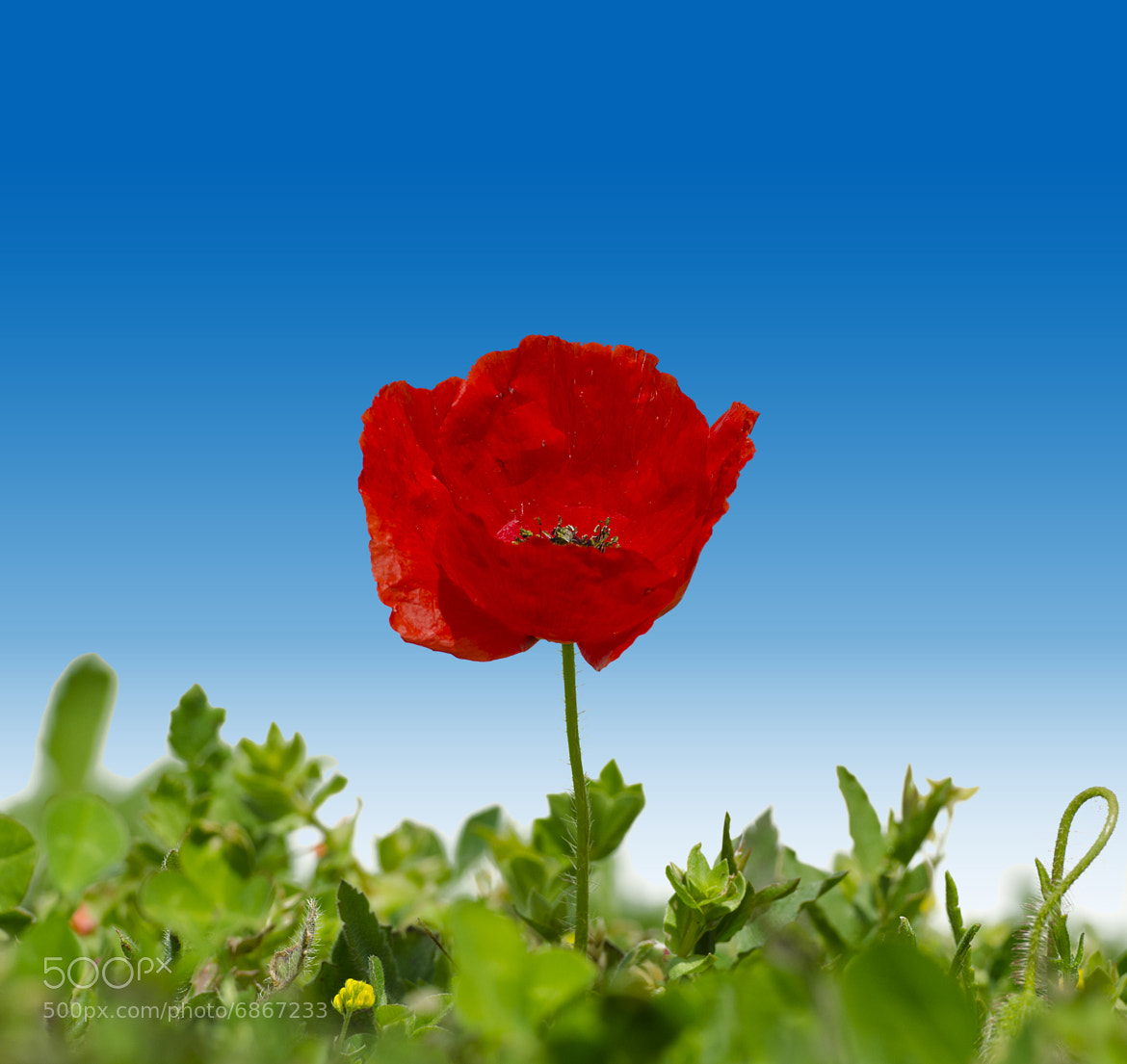 Photograph Coquelicot by Gilles_M  on 500px