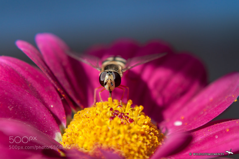 Photograph bee feeding on nectar by Ivan Pedretti  on 500px