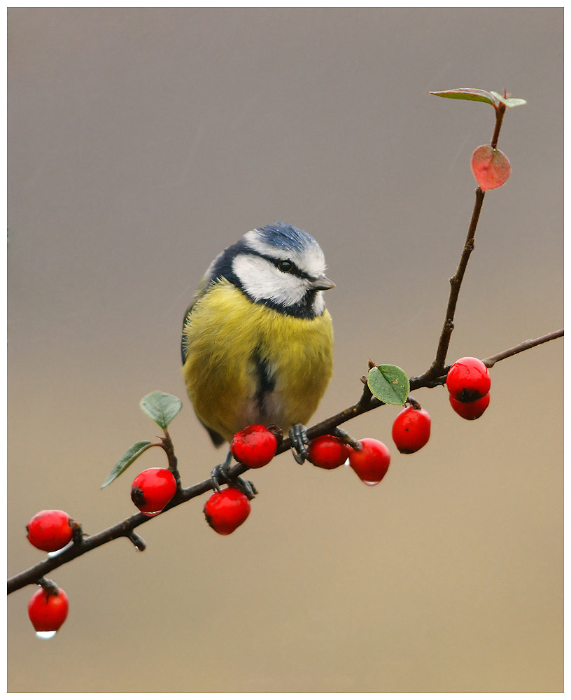 Photograph Blue Tit in the rain by Geoffrey Baker on 500px