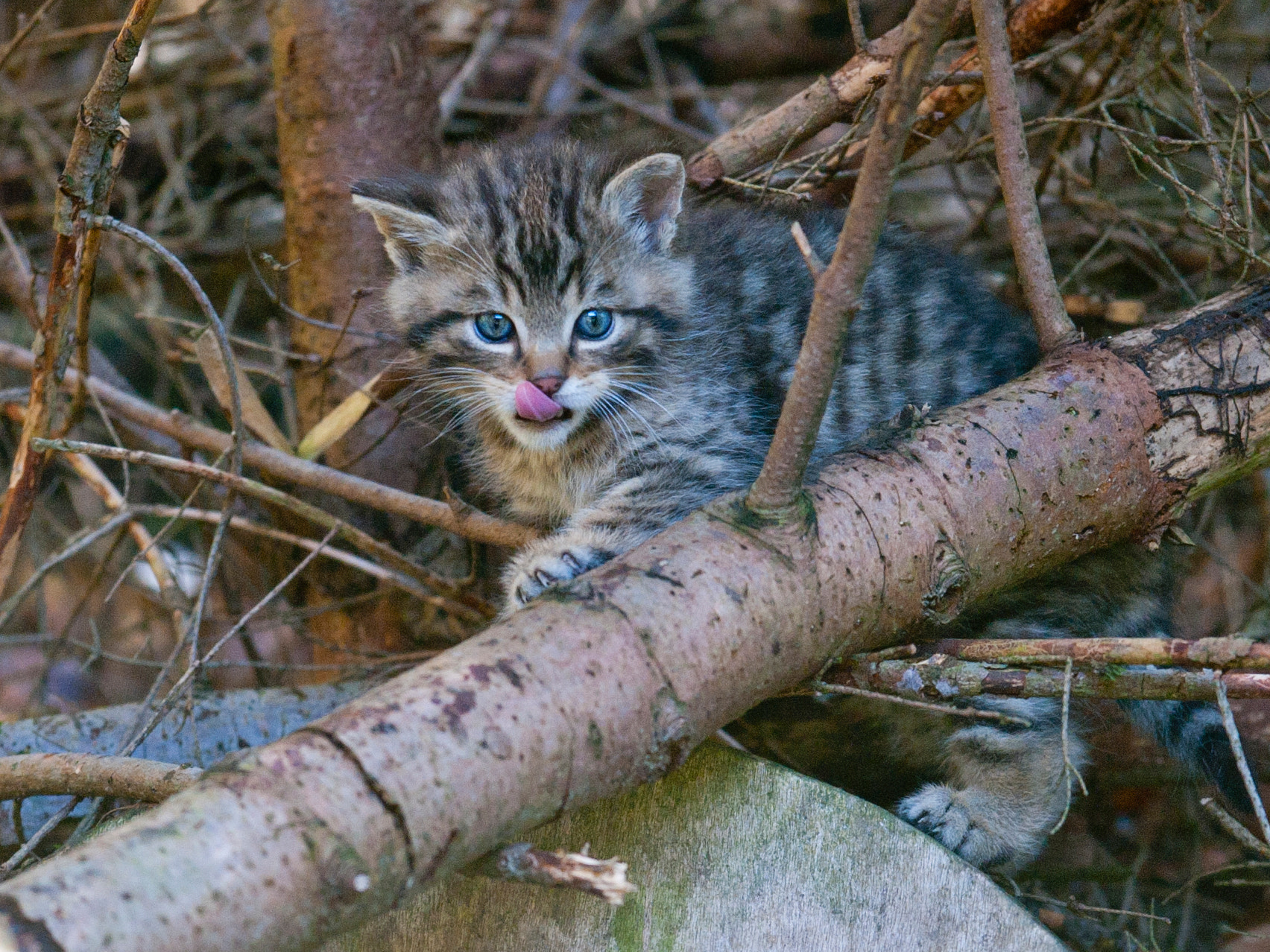 Photograph Wild Kitty by andreas richter on 500px