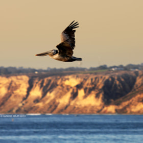 Pelican flight by Marco Crupi (marcocrupi)) on 500px.com