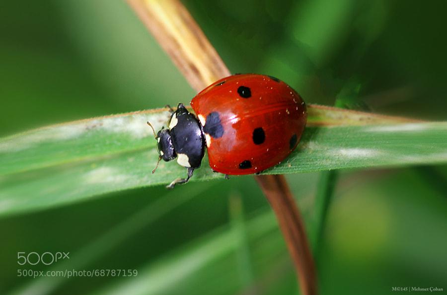 Photograph ladybug by Mehmet Çoban on 500px
