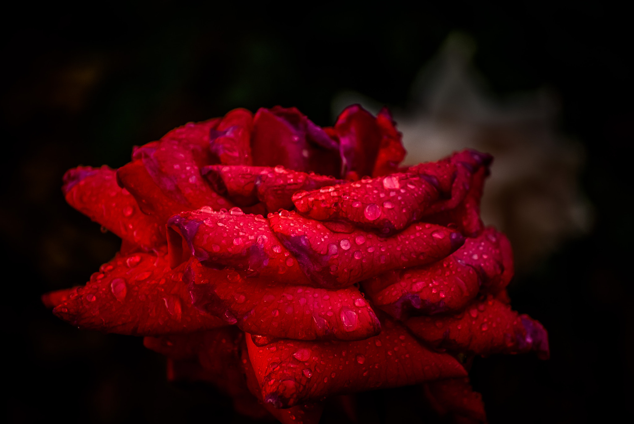 Photograph Rose by Jim Roberts on 500px