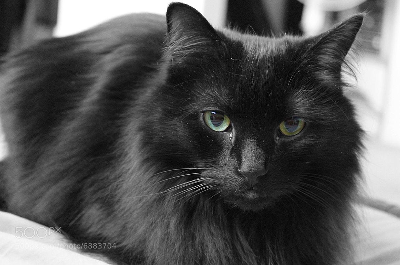 Photograph Glamour Cat by Jeffrey Razon on 500px