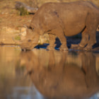 Постер, плакат: Black rhino drinking