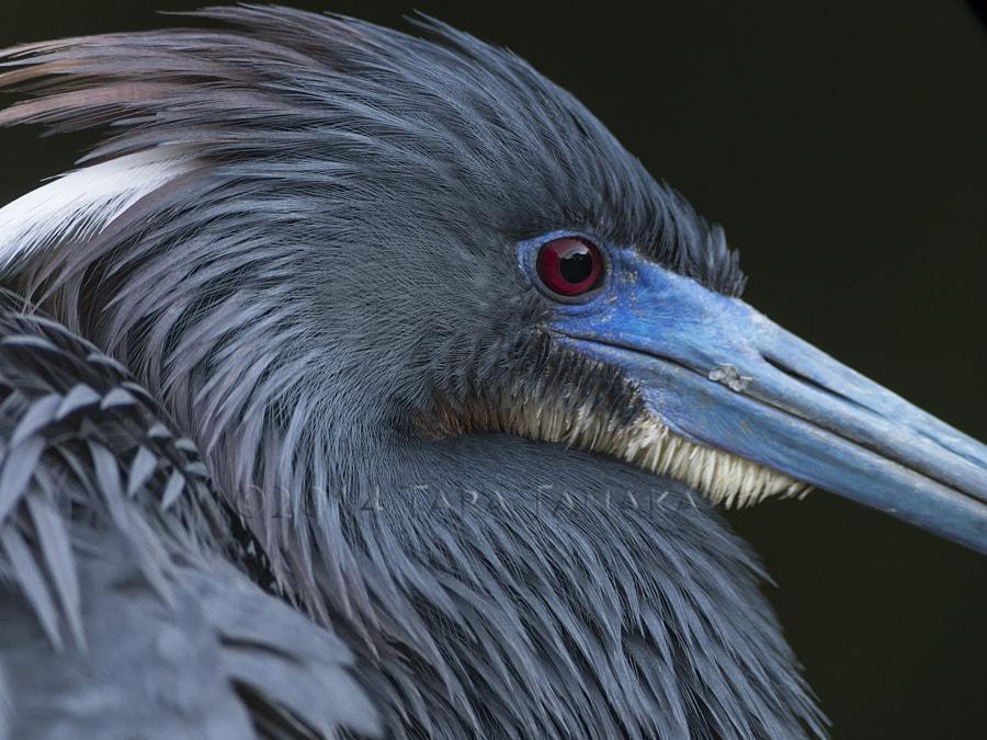 Tri colored heron by Tara Tanaka on 500px.com