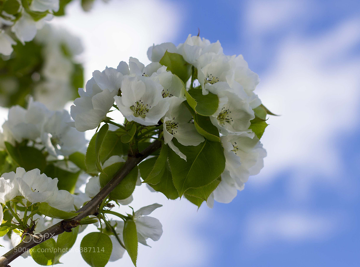 Photograph Pear Blossoms 1 by Rich Gaskill on 500px