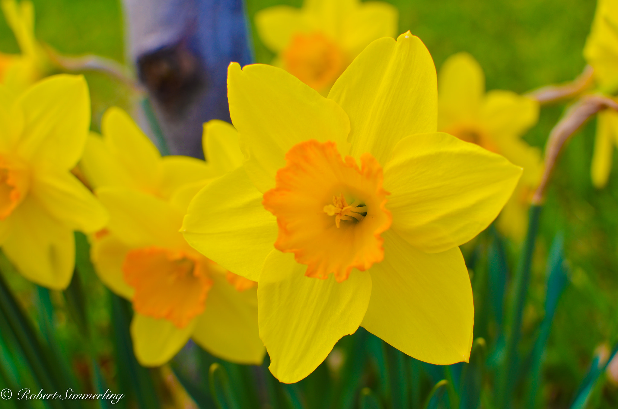 Photograph Daffodils by Robert Simmerling on 500px