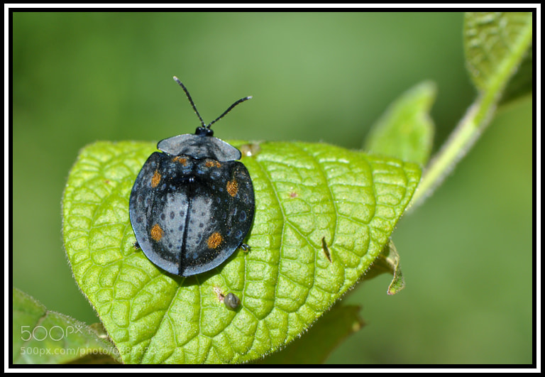 Photograph Chrysomelidae by Wolfgang Walz on 500px