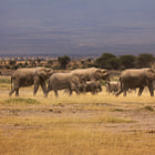 Постер, плакат: Ancient Trails Elephant Herd on the Move Amboseli Kenya