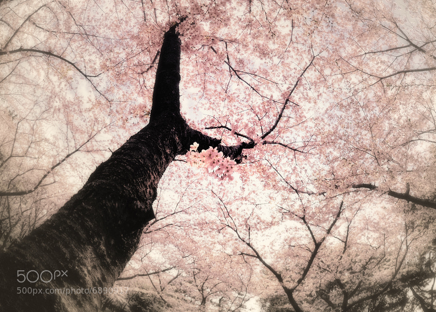 Spring dream by y2- hiro (y2-hiro)) on 500px.com