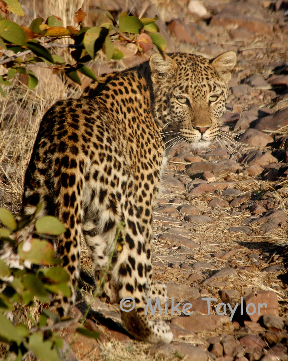 Photograph Leopard by Mike Taylor on 500px