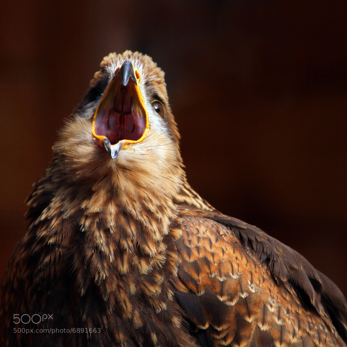 Photograph Black Kite by Alan Hinchliffe on 500px