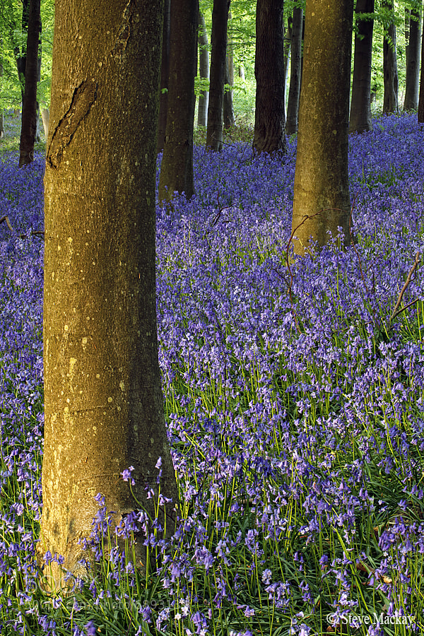 Photograph Bluebells by Steve Mackay on 500px