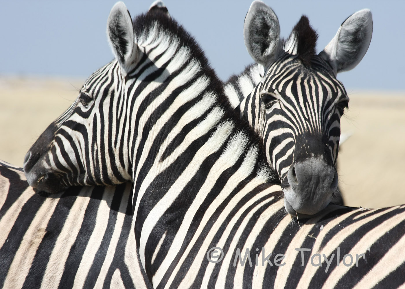 Photograph Zebra by Mike Taylor on 500px