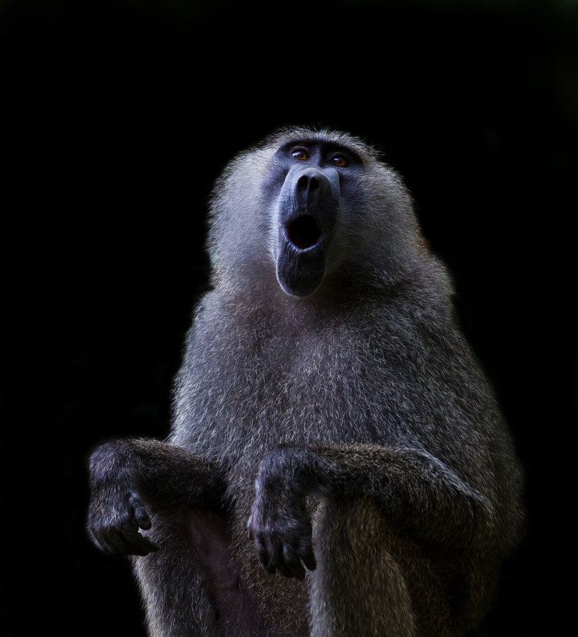 Singing baboon