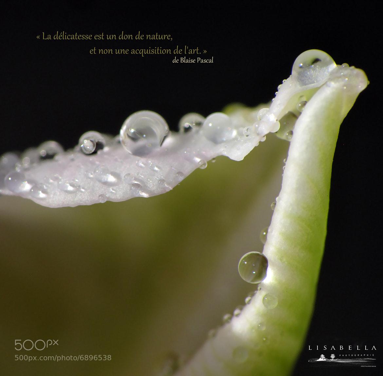 Photograph Tulipe ... by Lisabella Fert on 500px