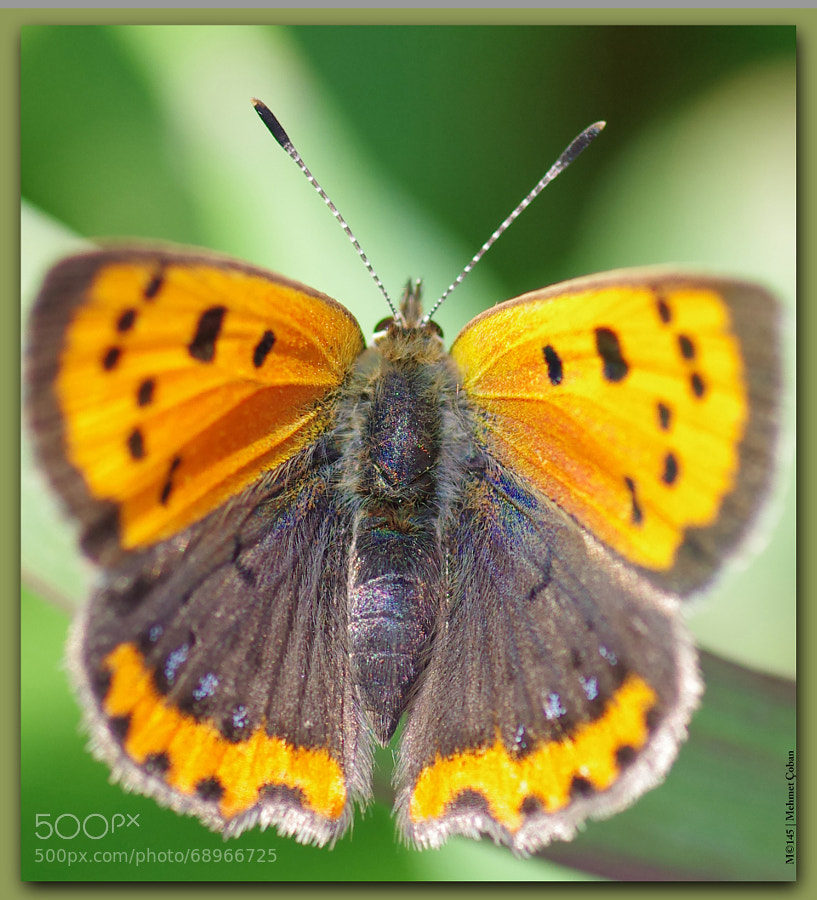 Photograph Mini Butterfly by Mehmet Çoban on 500px