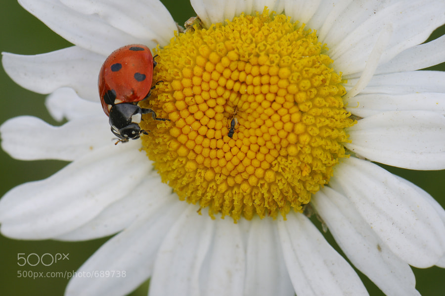 Photograph ladybug by mauro maione on 500px