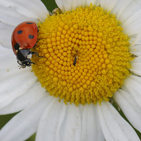 ladybug by mauro maione (marveros)) on 500px.com