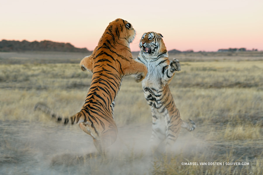 Tiger photography - Territorial Dispute by Marsel van Oosten on 500px.com