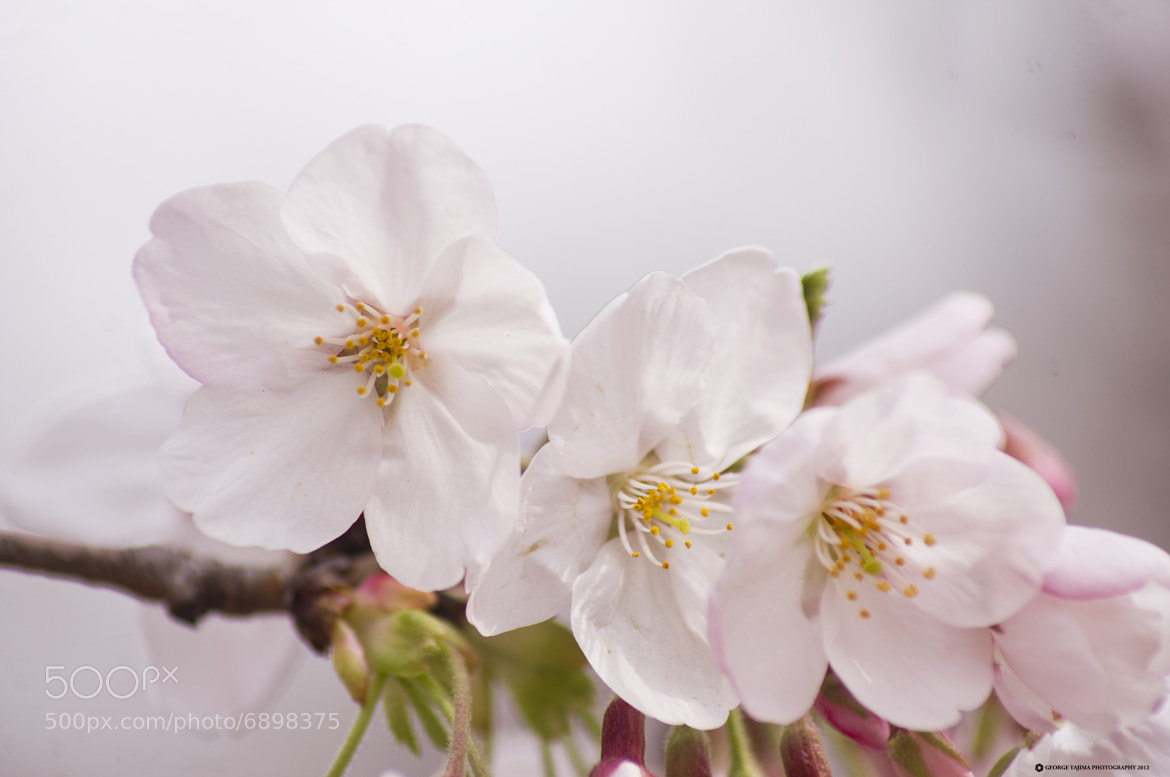 Photograph Sakura 2 by George Yajima on 500px