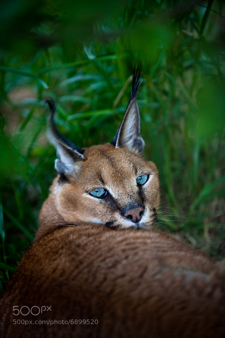 Photograph Aretha Caracal by Nathan Schepker on 500px
