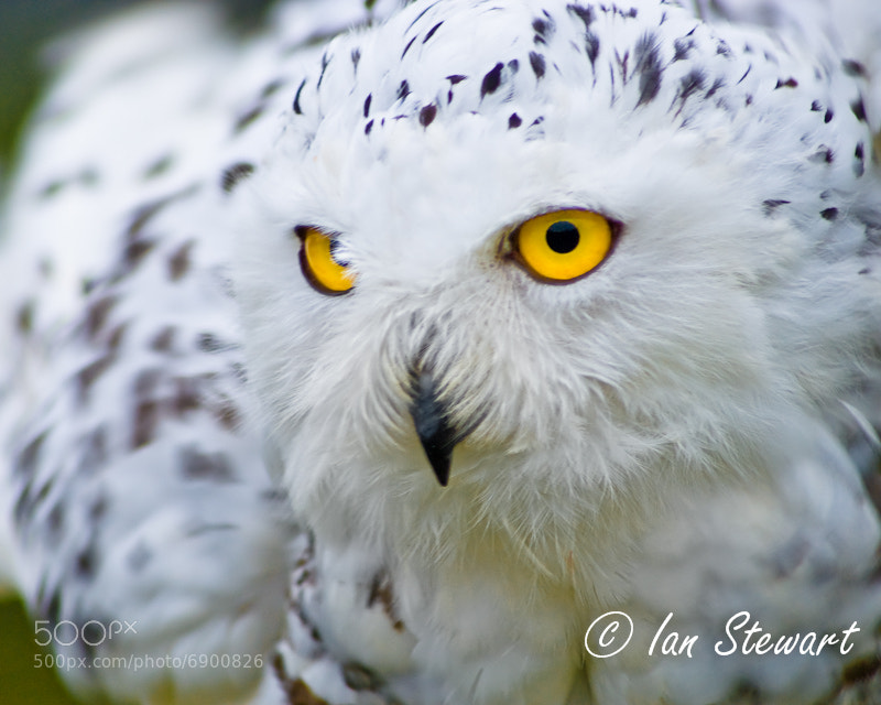 Photograph Snowy Owl - BIrd of Prey by Ian Stewart on 500px