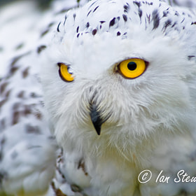 Snowy Owl - BIrd of Prey by Ian Stewart (BigRedTroll)) on 500px.com