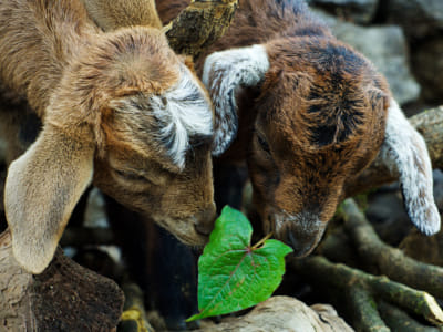 Baby goats and a leaf