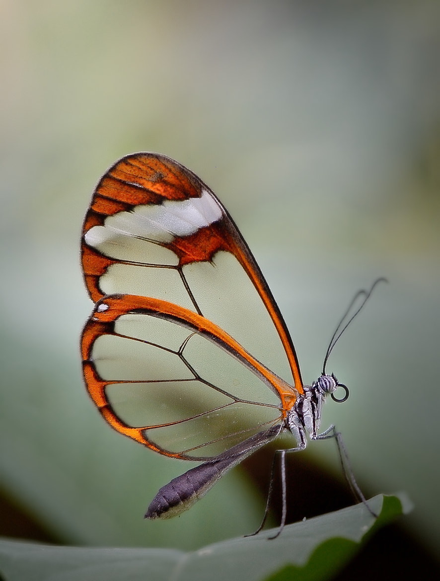 Photograph glasswing butterfly by gorka orexa on 500px