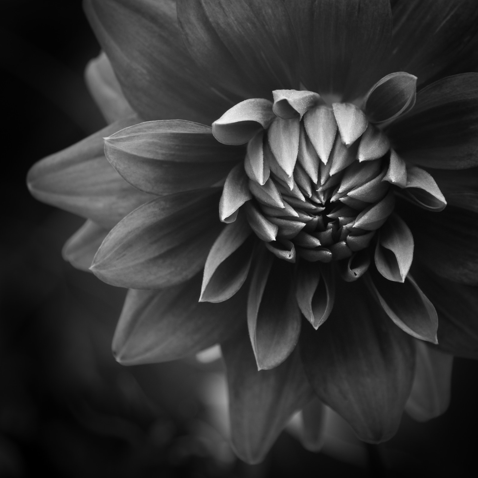 Photograph Dahlia by David Steer on 500px