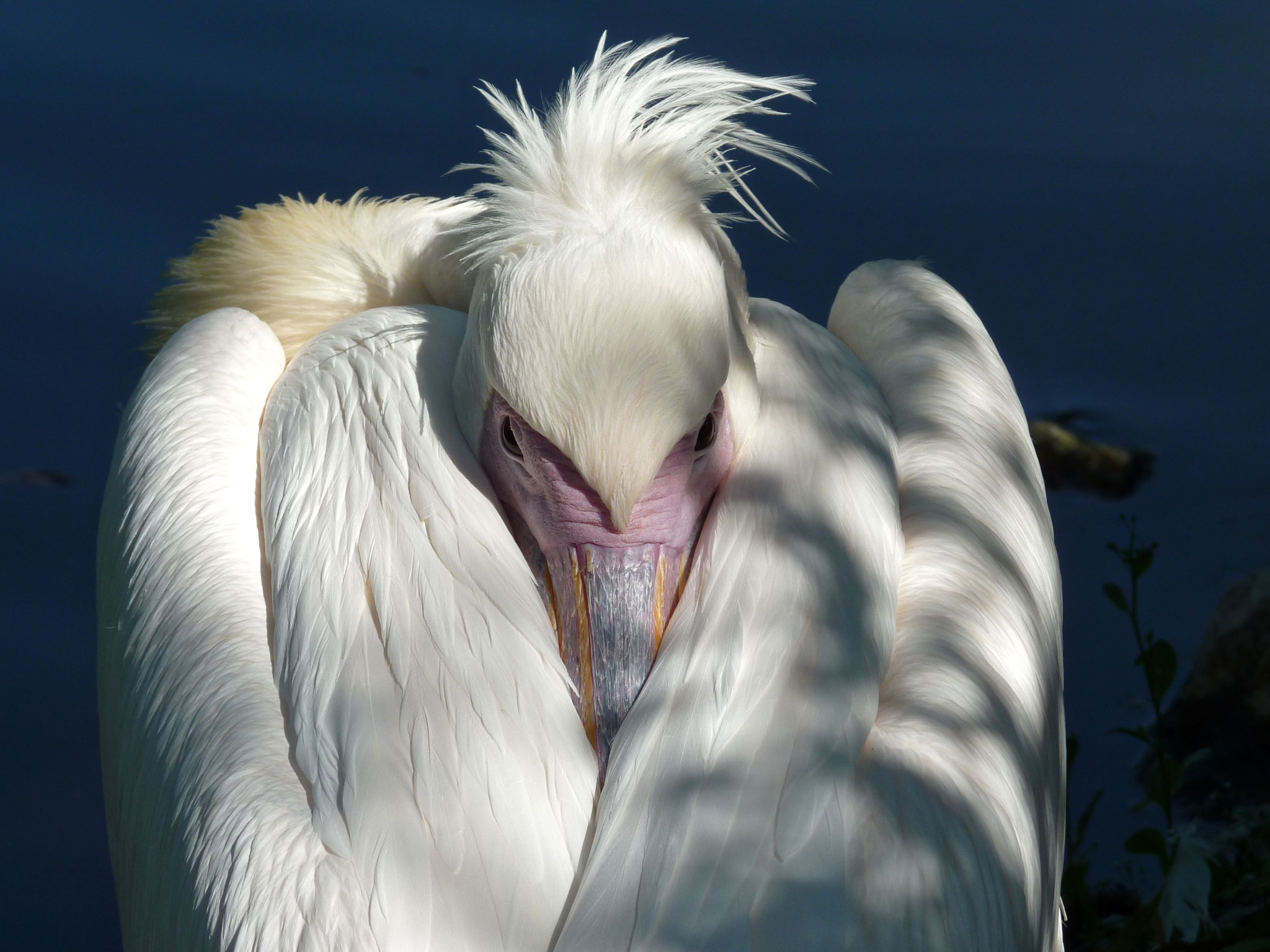 Photograph Pelican by maro1505 on 500px