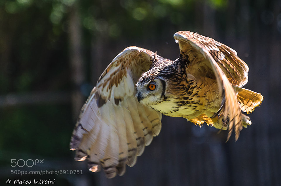Photograph Owl fly by Marco Introini on 500px