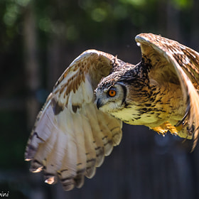 Owl fly by Marco Introini (marcointroini)) on 500px.com