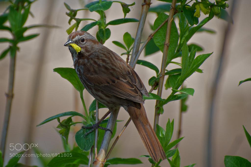 Photograph Fox Sparrow by Robert Disney on 500px