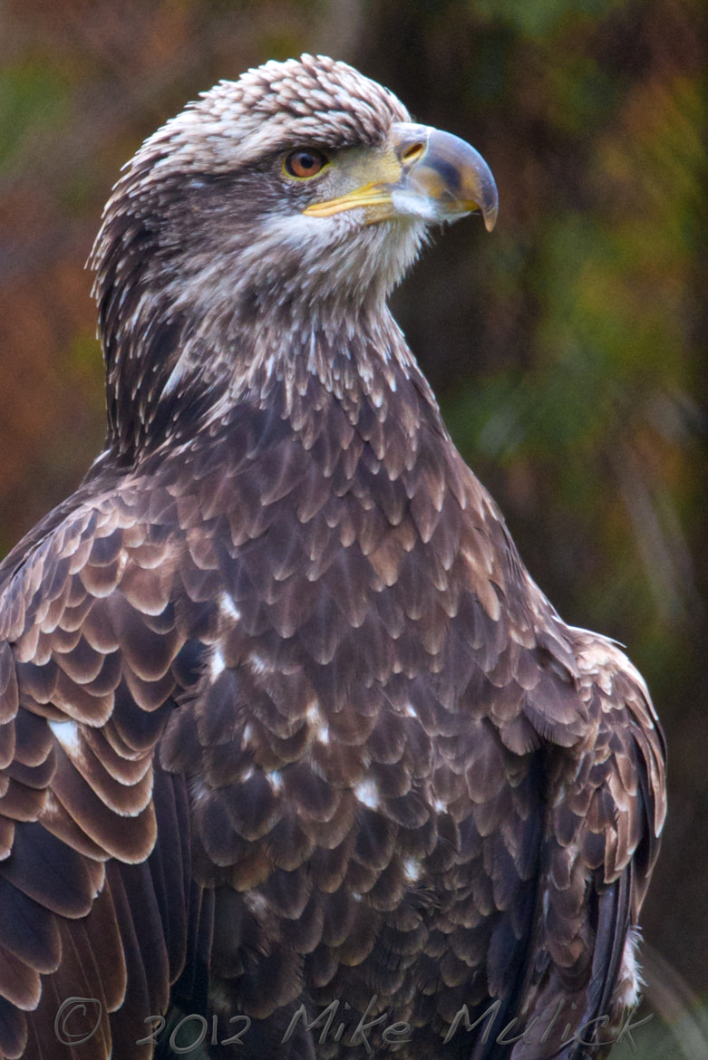 Photograph Bald Eagle by Mike Mulick on 500px