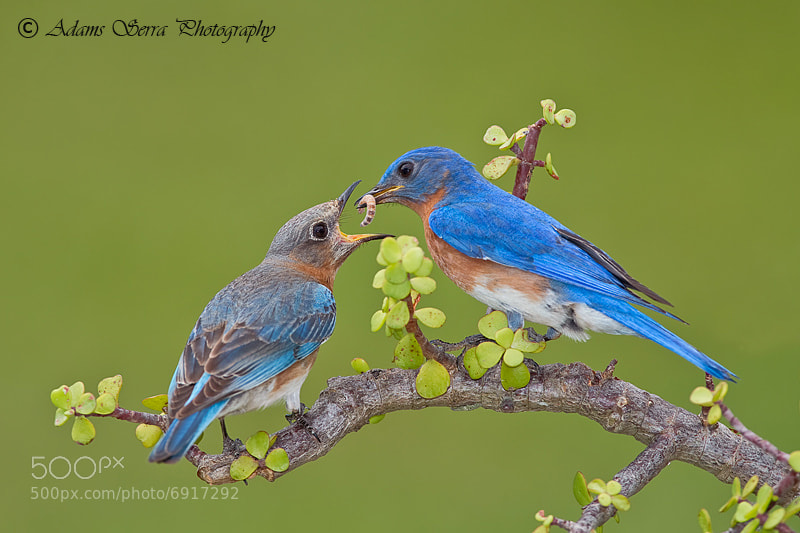 Photograph Blue Bird Nesting Pair by Adams Serra on 500px