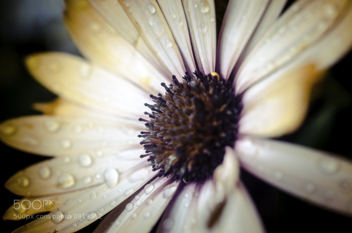 Photograph Yellow Daisy by TyThe Terrible on 500px